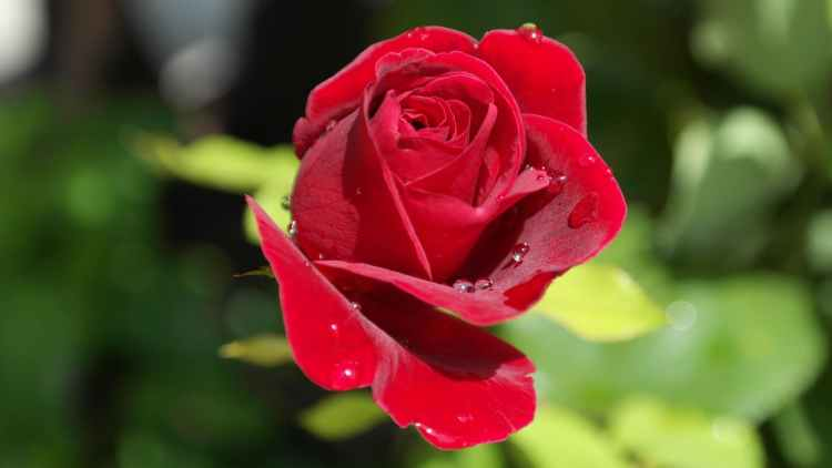 rose-red-love-dew-40502.jpeg